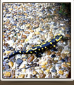 salamandre dans le grand canyon du Verdon